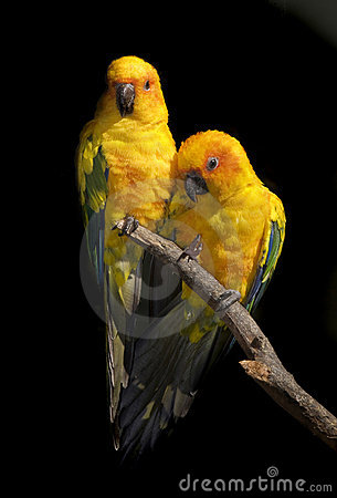 Free Sun Conure Stock Image - 7422301