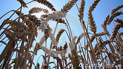 Sun, der durch die Weizenährchen scheint stock video footage