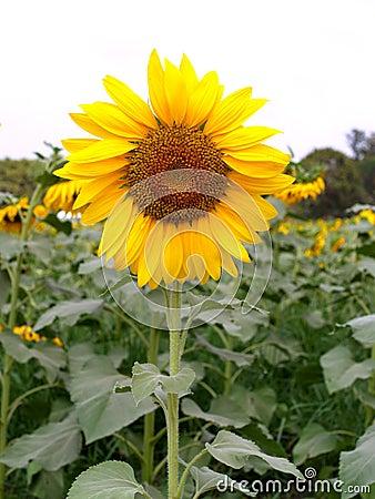 Sun för 04 blomma