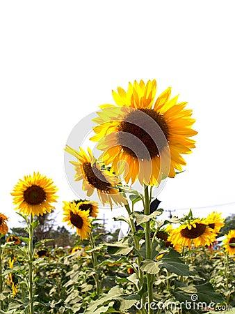 Sun Flower  03