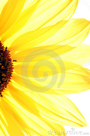 Free Sun Flower Royalty Free Stock Images - 158159