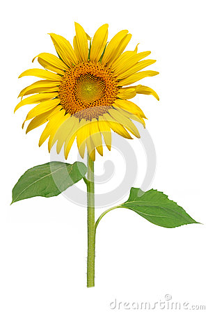 Free Sun Flower Blooming Royalty Free Stock Photo - 29166365