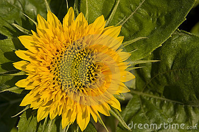 Sun flower blooms