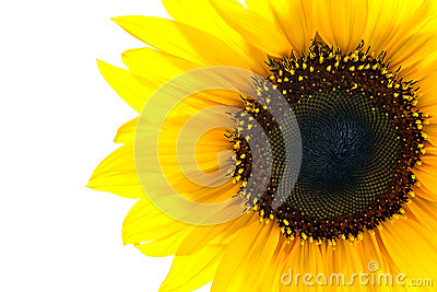 Sun flower closeup