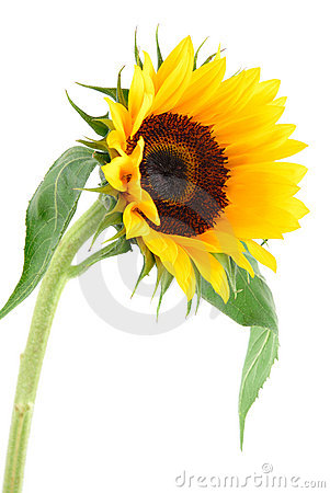 Free Sun Flower Collection Stock Images - 2426854