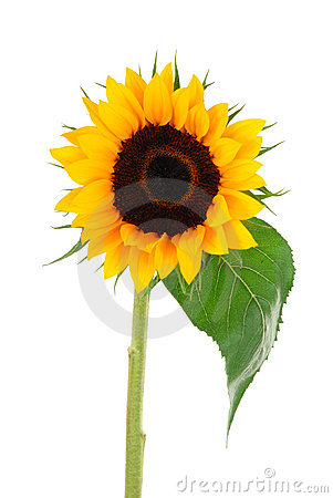 Free Sun Flower Collection Royalty Free Stock Photography - 2426897