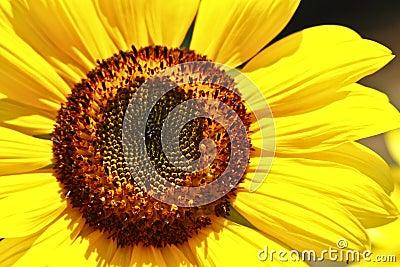 Sun Flower Head