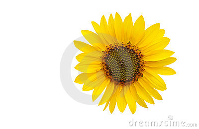 A sun flower isolated on white