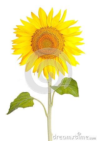 Free Sun Flower Sunflower Royalty Free Stock Photography - 20352257