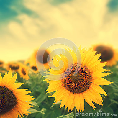 Free Sun Flowers In Field Royalty Free Stock Photos - 37557258