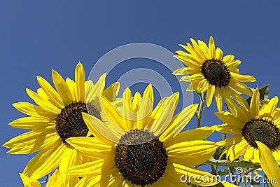 Sun Flowers on a sunny day.
