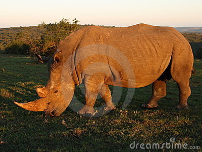 Sun kissed Rhino.