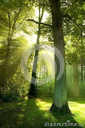 Sun-Lichtstrahlen durch Bäume