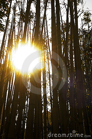 Sun over bamboo