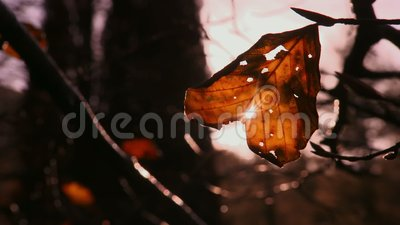 Sun Rays Through Autumn Leaf, Tollymore Forest, NI stock videobeelden