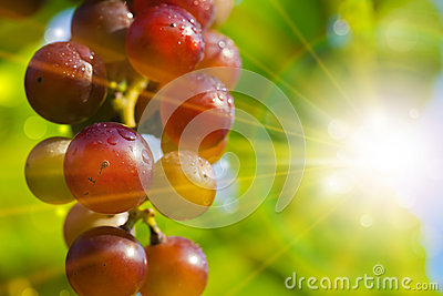Sun Rays Behind Red Grapes