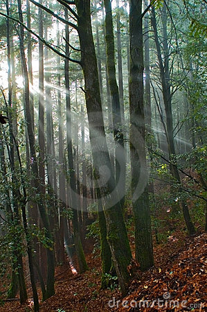 Sun rays fall into the mossy forest