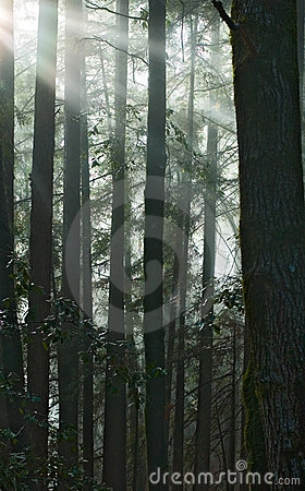 Sun rays fall into the redwood forest