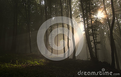 Sun rays shining trough fog in a forest