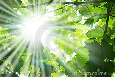 Sun rays through tree branches