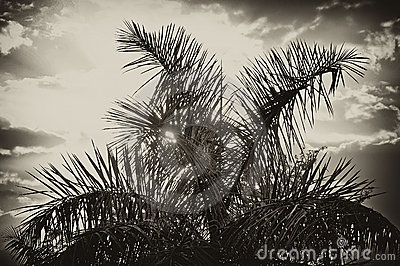 Sun rising behind palm tree in sepia