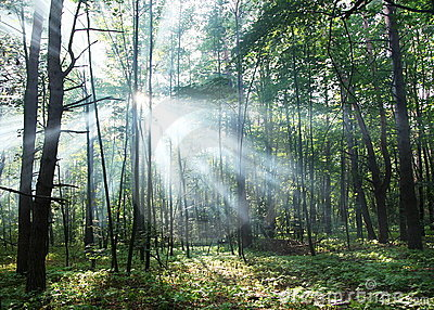 Sun s rays shining through the trees
