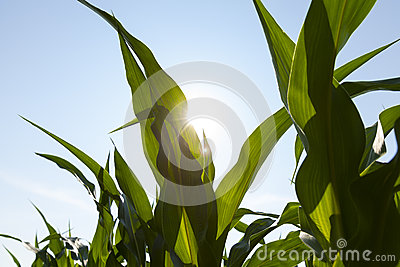 The sun shines through the leaf of a healthy corn leaf.