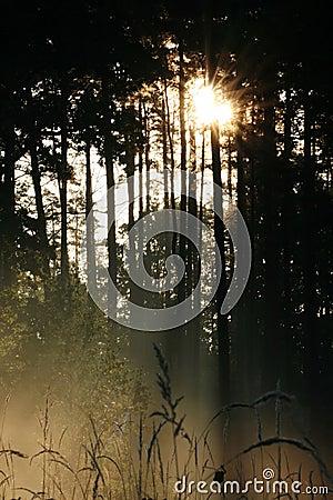 Sun shining through pine wood