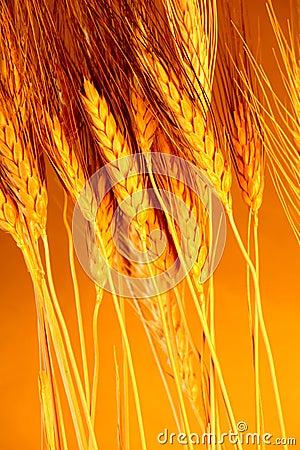 Sun touched grain