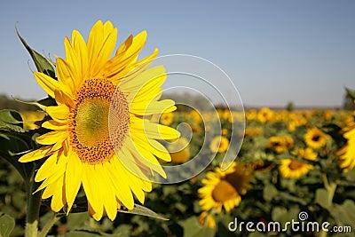 Sun Yellow 1