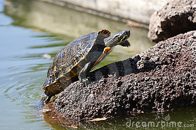 Sunbath turtle