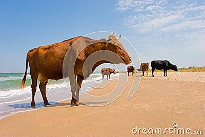 Sunbathing cow