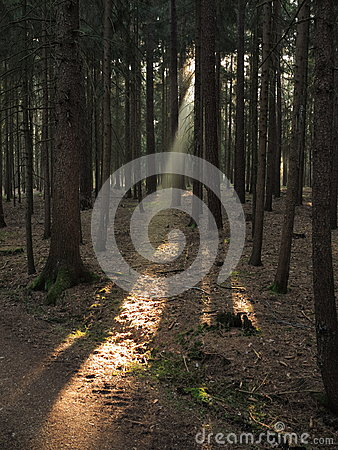 Free Sunbeam Into Fir Tree Forest Stock Image - 40090171