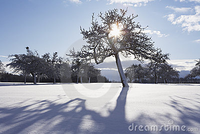 Sunbeams through tree in winter