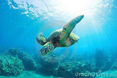 Sunburst sea turtle