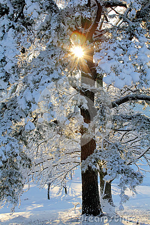Free Sunburst Through Snowy Tree Stock Photography - 82546462