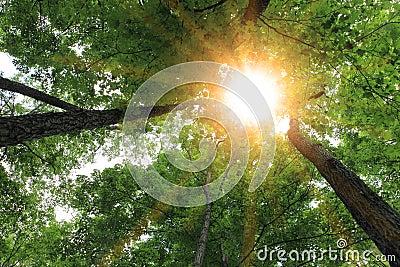 Sunburst and tree