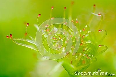 Sundew leaf - Drosera peltata