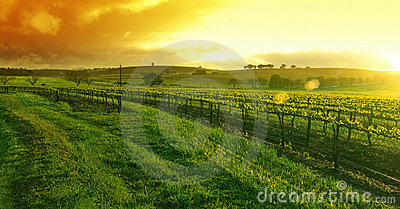 Sunflare Vineyard
