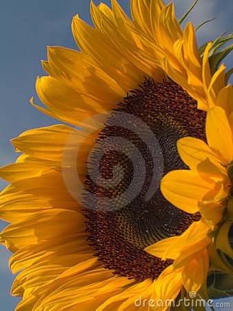 Sunflower 1 Royalty Free Stock Image - Image: 240006