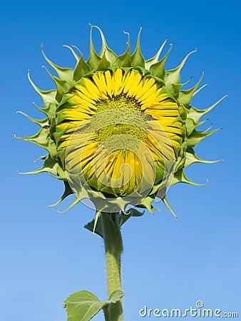 Free Sunflower. Stock Photo - 10385570