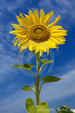 Free Sunflower Royalty Free Stock Photo - 10423355