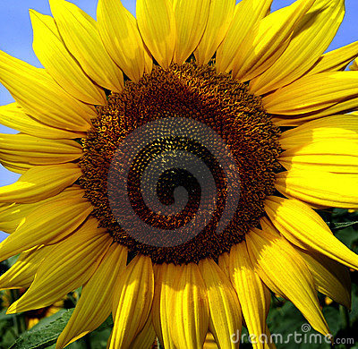 Free Sunflower Royalty Free Stock Images - 10537899