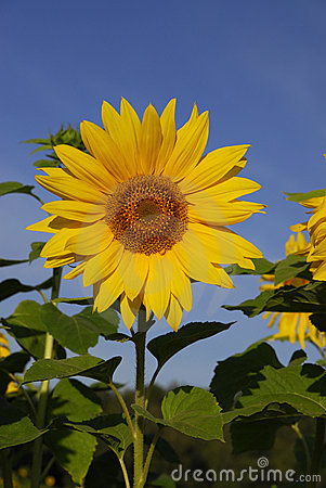 Free Sunflower. Stock Image - 10764661