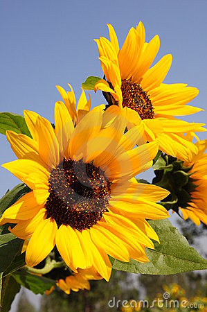 Free Sunflower Stock Photo - 11251180