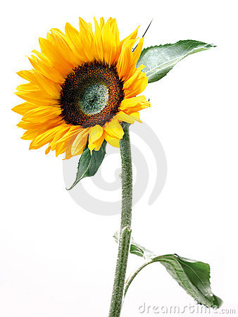 Free Sunflower Stock Photo - 13478280