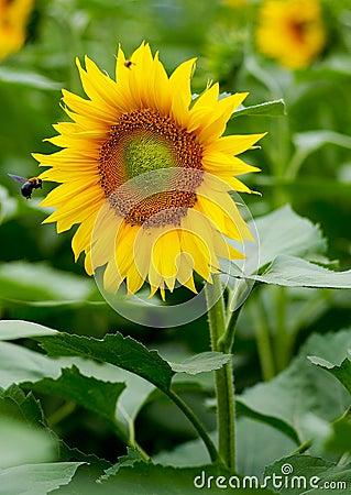 Free Sunflower Royalty Free Stock Photos - 13929688