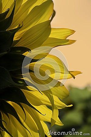 Free Sunflower Stock Photo - 15977660