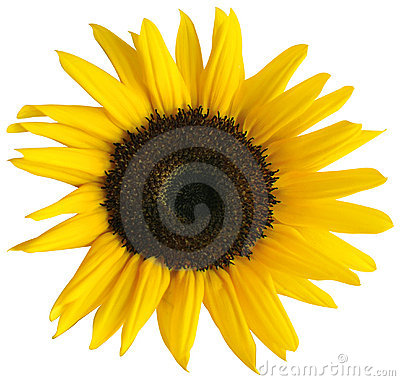Free Sunflower Royalty Free Stock Photos - 17070468