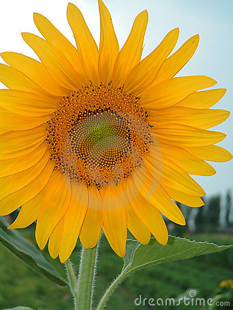 Free Sunflower Royalty Free Stock Image - 188756